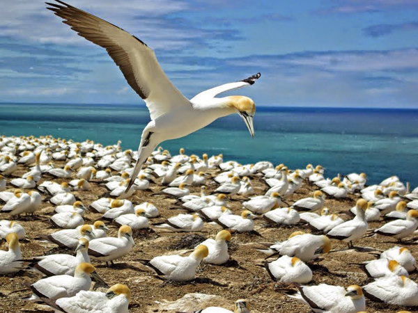 Gannet-Colony-Muriwai-New-Zealand.jpg