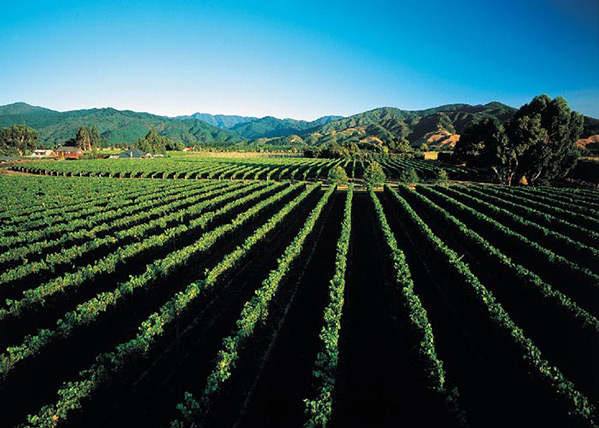 Marlborough-vineyard_1.jpg