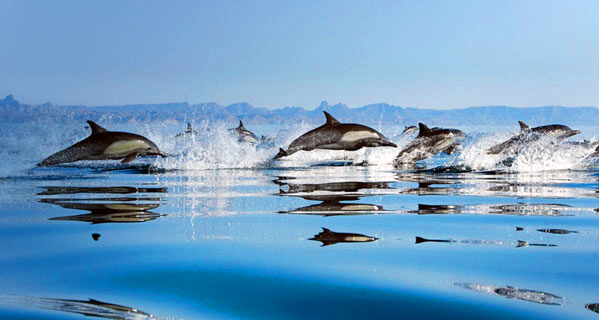 Pod of dolphins leaping out of the water, New Zealand