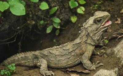 The rare New Zealand reptile, the Tuatara