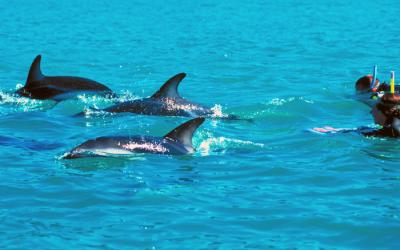 Dolphins and swimmer, Bay of Islands - NZ North Island Tour