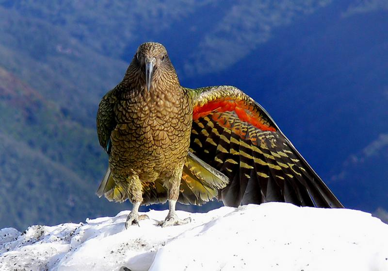 Kea, native alpine parrot - Wildlife and Nature Tours NZ