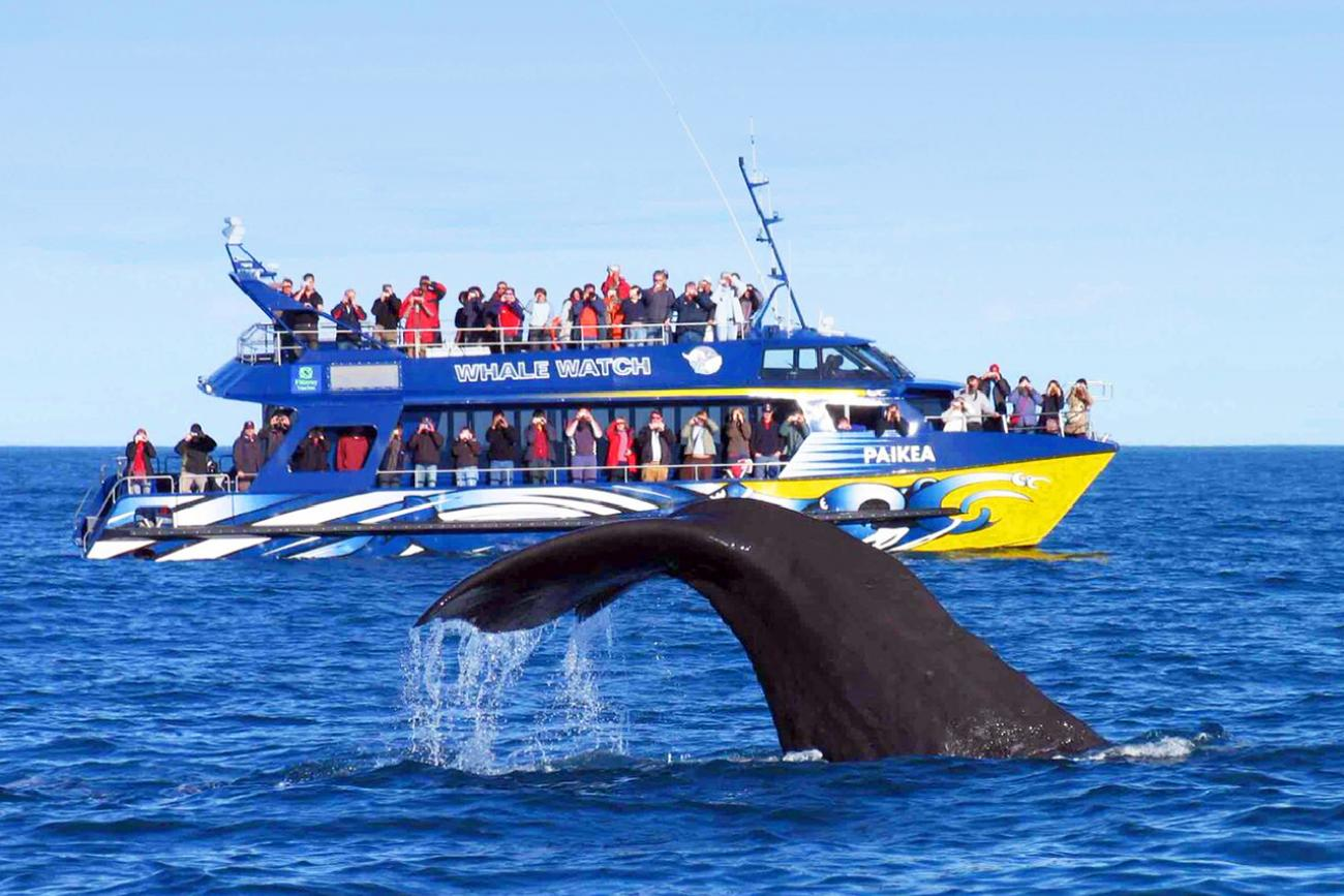 a whale tale above water during Kaikoura whale watching cruise