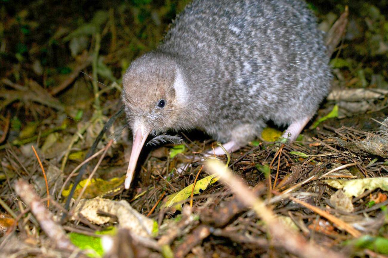 a kiwi bird at night, Wellington Zealandia wildlife sanctuary