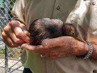 A kiwi being nursed back to health