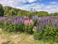 Lupins in spring bloom in the Mackenzie Country near Lake Tekapo