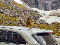 Cheeky Kea on the roof of a car on the Milford Road