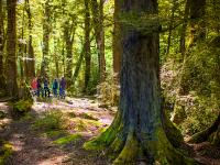 Walkers in the Beech Forest on the Routeburn Track