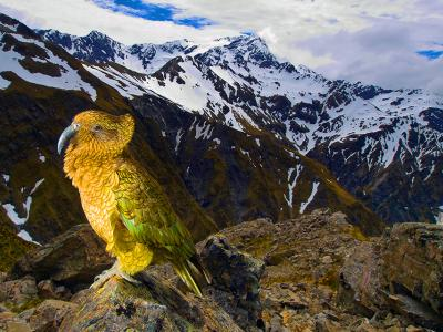 Kea at Arthurs Pass