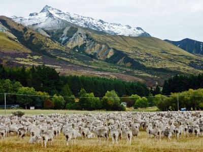 New Zealand's beautiful country side with a flock of sheep