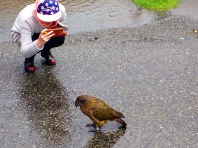 Close up photo of Kea in the rain on the Milford Road - MoaTrek Tour Gallery