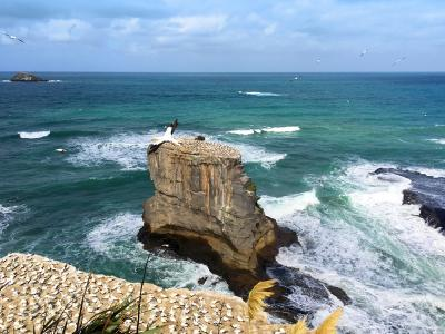 Gannet Colony and ocean views, Muriwai - MoaTrek Tour Gallery February 2017