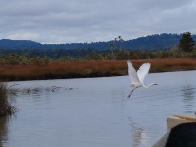 White Heron in flight at Okarito