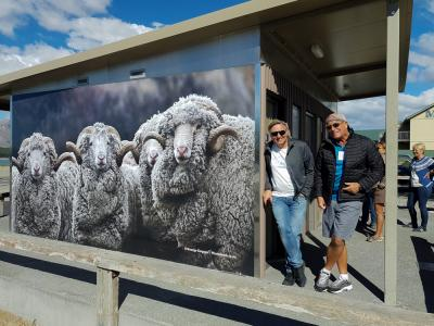 Men and sheep, New Zealand