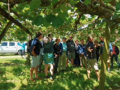 Under the canopy of a kiwi fruit orchard