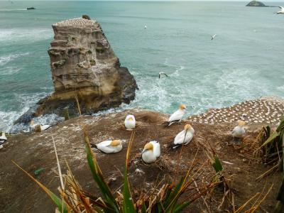 A group of gannets at Muriwai beach