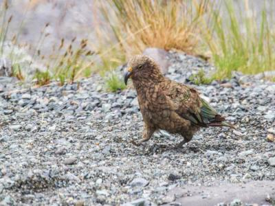 A Kea in the Southern Alps, New Zealand