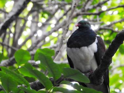 New Zealand Native Pigeon, the Kereru