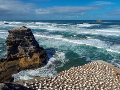 Gannet Colony, Muriwai Beach