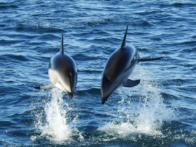 Dolphins off the coast of Kaikoura
