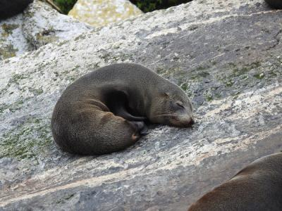 New Zealand Fur Seal in Milford Sound