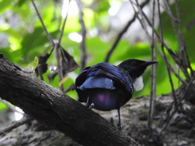 Tui in the Forest