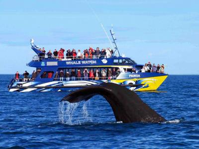 Whalewatching boat and sperm whale - Kaikoura