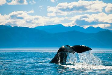 Whale Watching in Kaikoura