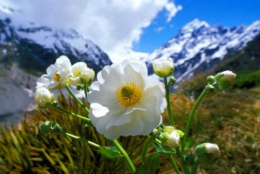 Native alpine lily and Mt Cook, springtime  - Best time to visit New Zealand