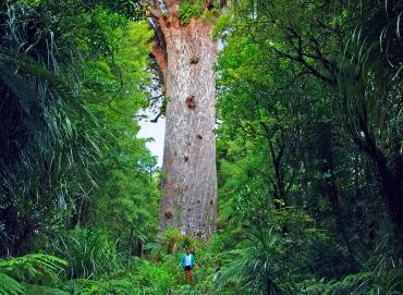 Tane Mahuta Lord of the Forest - Maori Culture Tours NZ