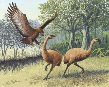 Prehistoric Moa being attacked by giant Eagle - Wildlife and Nature Tours NZ